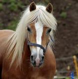 Cavalo de Haflinger Imagens de Stock Royalty Free