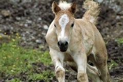 Cavalo de Haflinger Fotos de Stock Royalty Free