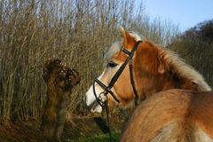 Cavalo de Haflinger fotografia de stock