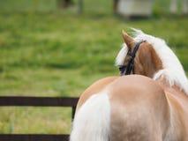 Cavalo de Haflinger no anel da mostra foto de stock royalty free