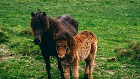 Cavalo de Ilittle Islândia com seu cavalo do mum em Islândia na grama imagens de stock royalty free