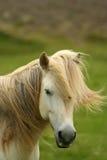Cavalo de Islândia Foto de Stock