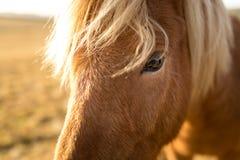Cavalo de Islândia durante o por do sol na costa islandêsa do sul - pônei de Islândia imagem de stock royalty free
