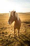 Cavalo de Islândia durante o por do sol na costa islandêsa do sul - pônei de Islândia imagens de stock royalty free