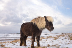 Cavalo de Islândia, inverno Fotos de Stock Royalty Free