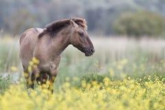Cavalo de Konik Fotos de Stock