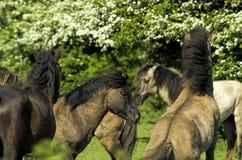 Cavalo de Konik Foto de Stock Royalty Free