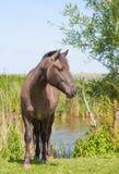 Cavalo de Konik da castanha Foto de Stock