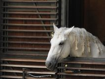 Cavalo de Lipizzaner que olha fora do estábulo em Viena imagem de stock