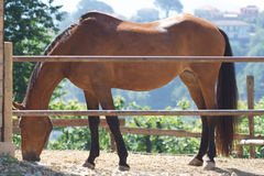 Cavalo de louro imagem de stock