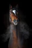 Cavalo de louro na obscuridade, nuvens do vapor Imagens de Stock Royalty Free