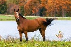 Cavalo de louro no outono fotografia de stock