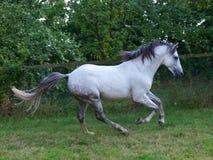 Cavalo de Lusitano Fotos de Stock Royalty Free