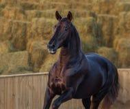 Cavalo de Lusitano no movimento no fundo da natureza na luz do por do sol imagem de stock royalty free
