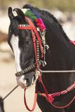 Cavalo de Marwari imagem de stock royalty free