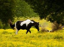 Cavalo de Palameno em um campo de flores amarelas. Fotografia de Stock Royalty Free