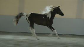 Cavalo de Pinto Arabian que trota no salão video estoque