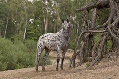 Cavalo de Pippys Fotografia de Stock