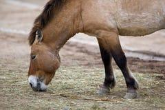 Cavalo de Przewalski fotos de stock