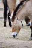 Cavalo de Przewalski fotografia de stock