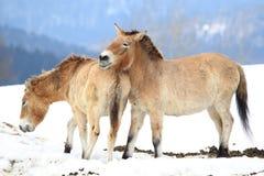 Cavalo de Przewalski fotografia de stock royalty free