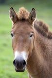 Cavalo de Przewalski (przewalskii do ferus do Equus) foto de stock royalty free