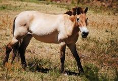 Cavalo de Przewalskis Fotos de Stock Royalty Free