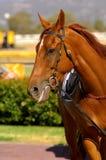 Cavalo de raça Imagens de Stock Royalty Free