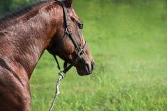 cavalo de raça com um olho transparente Foto de Stock Royalty Free