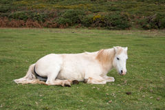 Cavalo de relaxamento Imagens de Stock