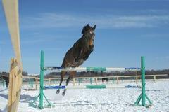 Cavalo de salto fotografia de stock