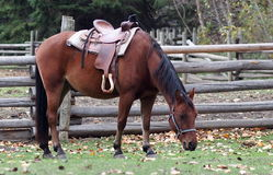 Cavalo de sela Foto de Stock Royalty Free
