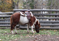 Cavalo de sela Fotografia de Stock Royalty Free