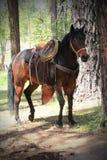 Cavalo de sela escuro amarrado à árvore foto de stock royalty free