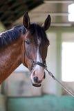 Cavalo de sela novo sob o canter do treinamento no salão da equitação Imagens de Stock Royalty Free