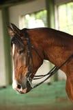 Cavalo de sela novo sob o canter do treinamento no salão da equitação Fotos de Stock Royalty Free