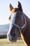 Cavalo de sela que olha sobre a cerca da pena Foto de Stock