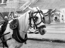 Cavalo de transporte no Monochrome em Cuba Imagens de Stock Royalty Free