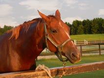 Cavalo de um quarto Fotografia de Stock Royalty Free