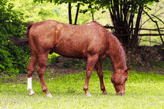 Cavalo de um quarto Foto de Stock