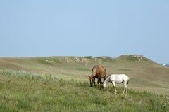 Cavalo de um quarto da égua e do potro Foto de Stock Royalty Free