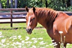 Cavalo de um quarto da castanha imagens de stock royalty free