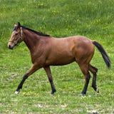Cavalo de um quarto de Brown Fotos de Stock