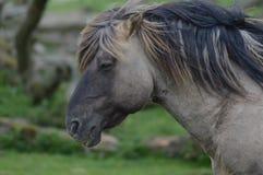 Cavalo de Wilde em Oostvaardersplassen Fotos de Stock Royalty Free