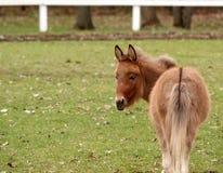 Cavalo diminuto Imagem de Stock