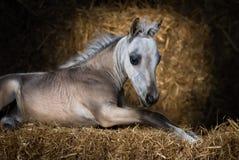 Cavalo diminuto americano Potro do Dun que encontra-se na palha Foto de Stock Royalty Free