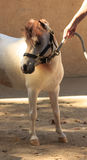 Cavalo diminuto branco e marrom que veste uma cabeçada Imagem de Stock