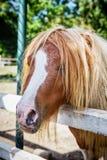 Cavalo diminuto Falabella no jardim zoológico fotos de stock royalty free
