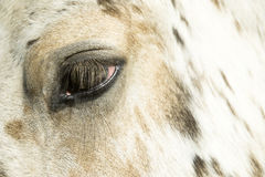 Cavalo do Appaloosa fotografia de stock royalty free