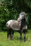 Cavalo do Appaloosa Foto de Stock